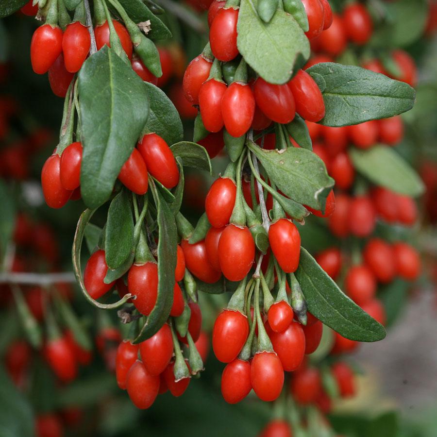 Goji fruits